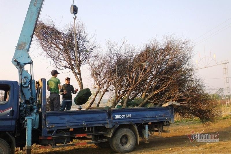 Cấm chặt đào rừng, thương lái đổ xô đặt cọc đào phai xứ Thanh-12