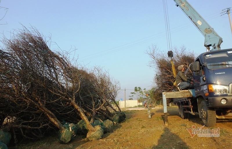 Cấm chặt đào rừng, thương lái đổ xô đặt cọc đào phai xứ Thanh-13