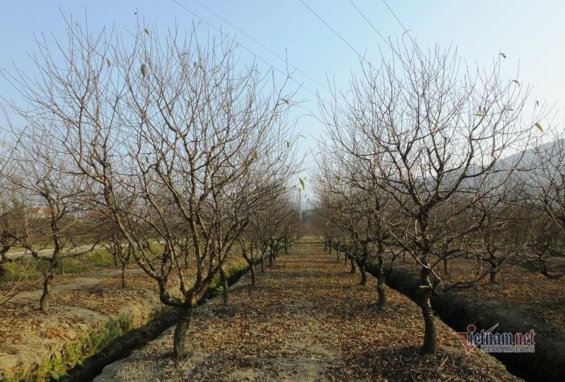 Cấm chặt đào rừng, thương lái đổ xô đặt cọc đào phai xứ Thanh-3
