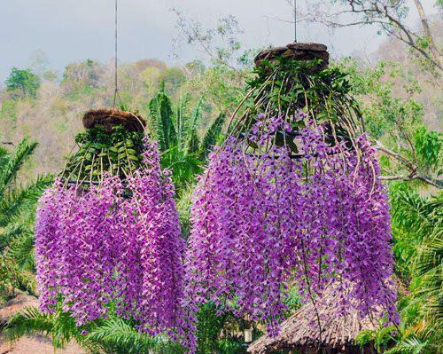 3 loại hoa lan đắt xắt ra miếng những nhà có tiền hay chọn mua dịp Tết-4