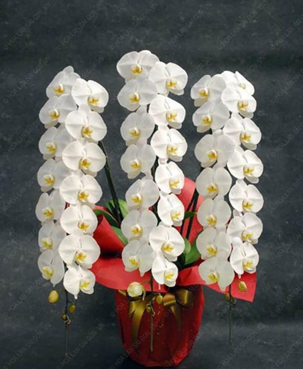 3 loại hoa lan đắt xắt ra miếng những nhà có tiền hay chọn mua dịp Tết-5