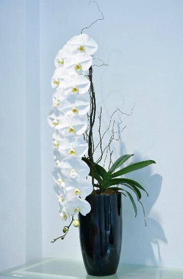 3 loại hoa lan đắt xắt ra miếng những nhà có tiền hay chọn mua dịp Tết-7