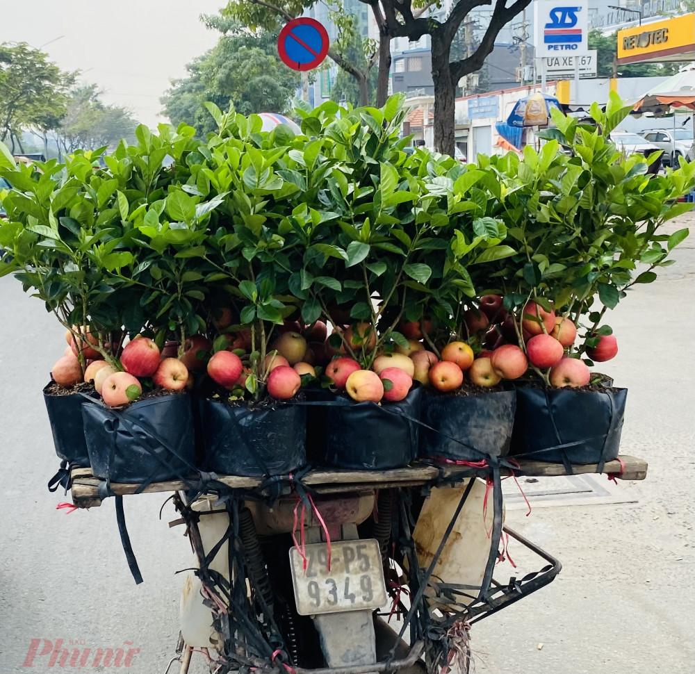 Tưởng giống táo lùn siêu trái, nhiều người mua phải táo gắn lên cây dành dành-1