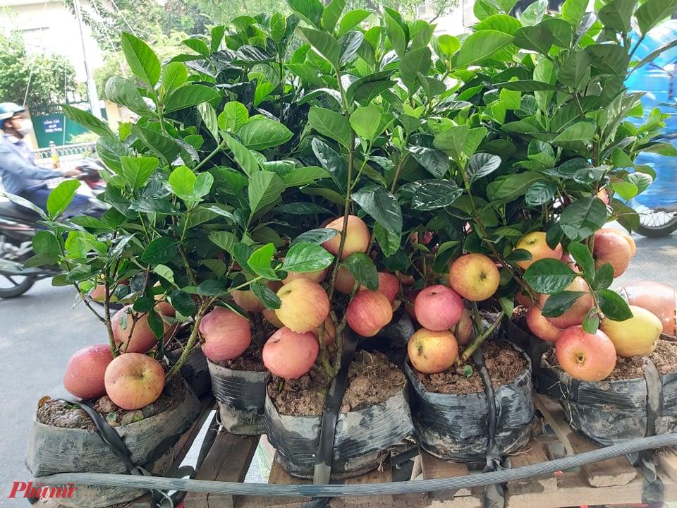Tưởng giống táo lùn siêu trái, nhiều người mua phải táo gắn lên cây dành dành-2