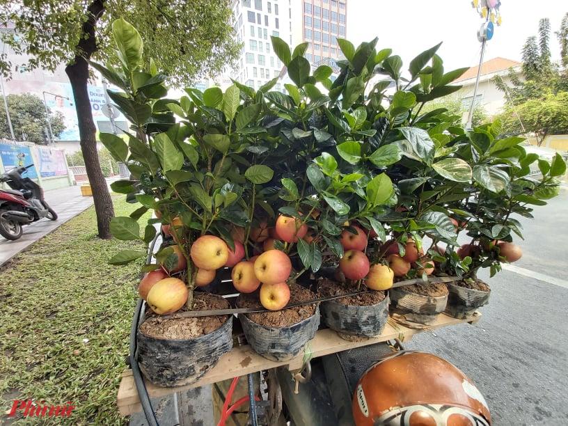Tưởng giống táo lùn siêu trái, nhiều người mua phải táo gắn lên cây dành dành-3
