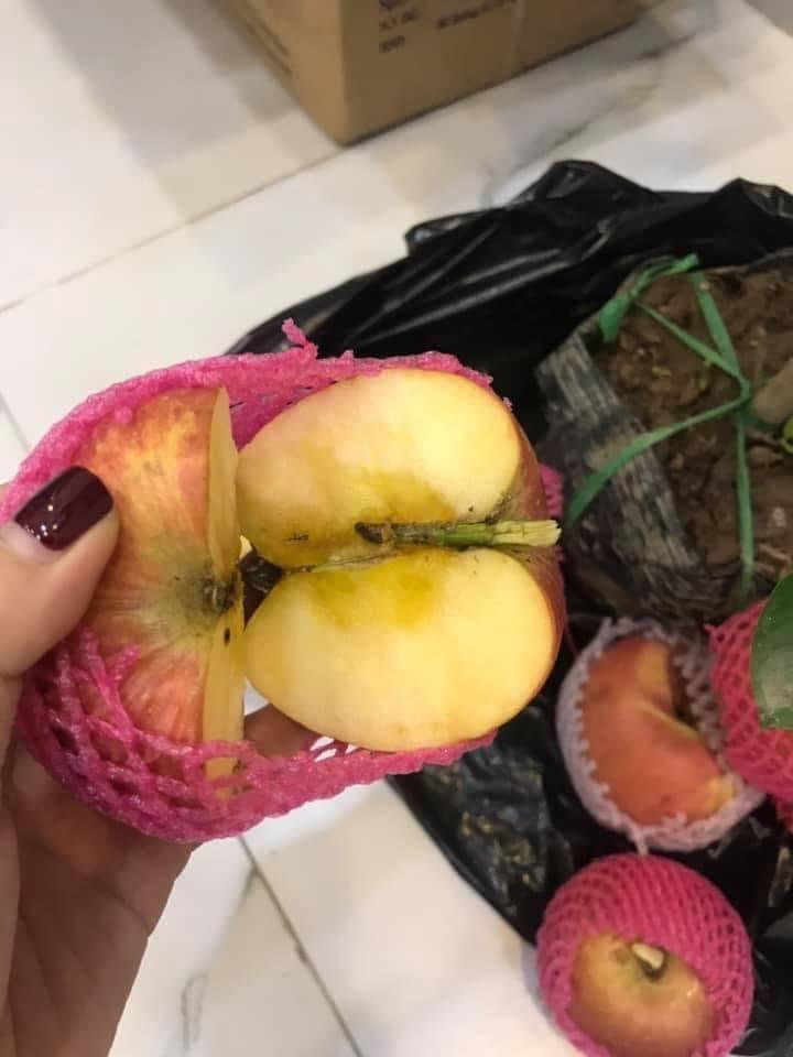 Tưởng giống táo lùn siêu trái, nhiều người mua phải táo gắn lên cây dành dành-7