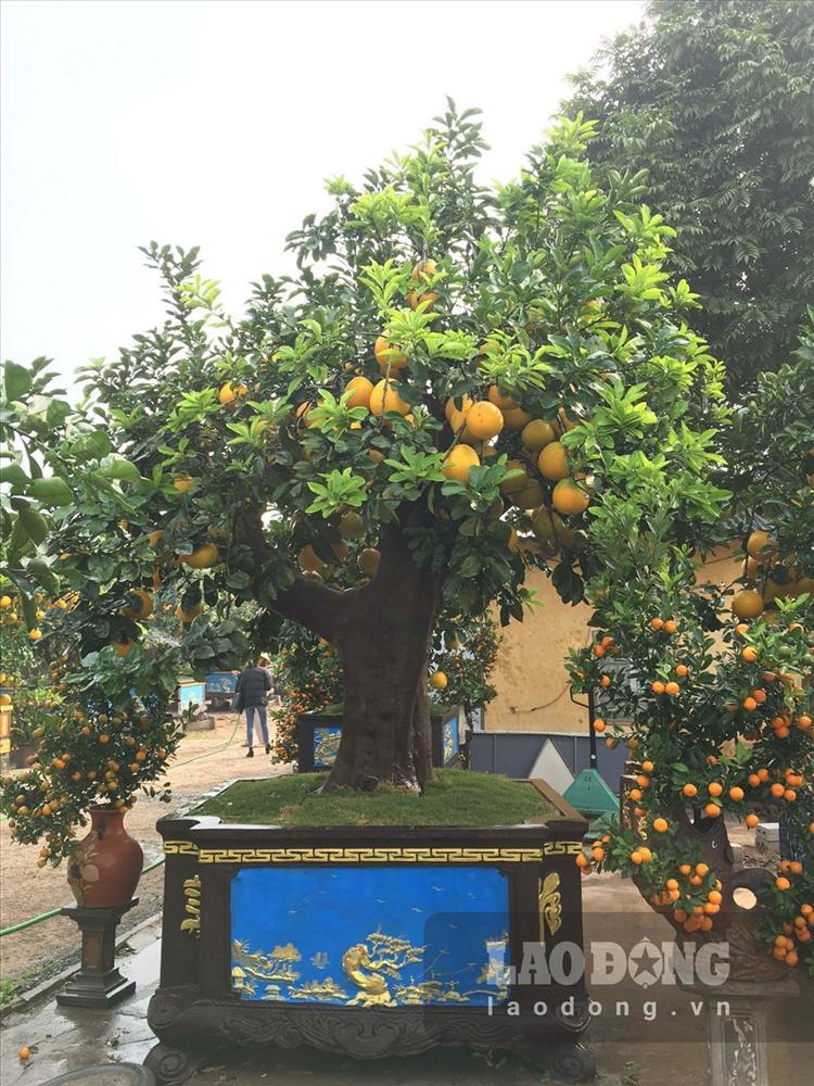 Ngắm cây bưởi cổ được trả giá 300 triệu đồng vẫn không bán tại Hưng Yên-1