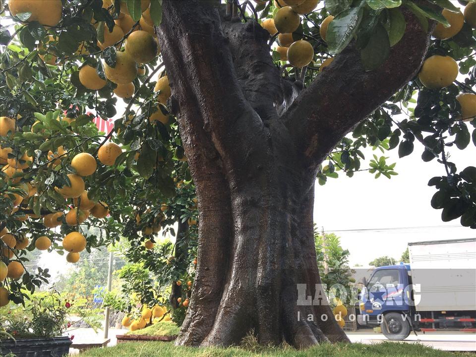 Ngắm cây bưởi cổ được trả giá 300 triệu đồng vẫn không bán tại Hưng Yên-2