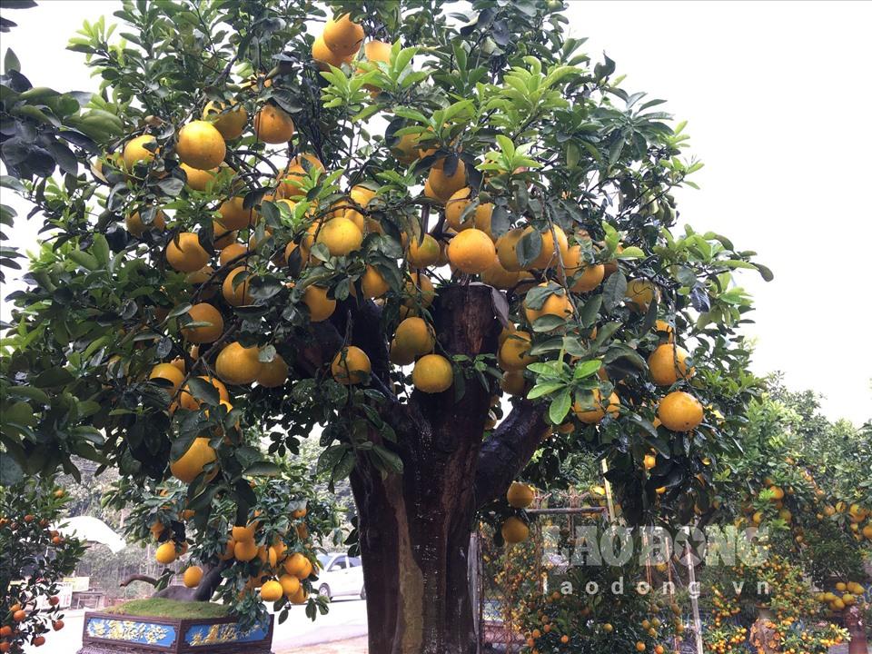 Ngắm cây bưởi cổ được trả giá 300 triệu đồng vẫn không bán tại Hưng Yên-3
