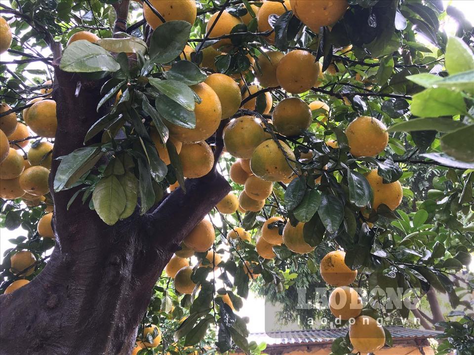 Ngắm cây bưởi cổ được trả giá 300 triệu đồng vẫn không bán tại Hưng Yên-4