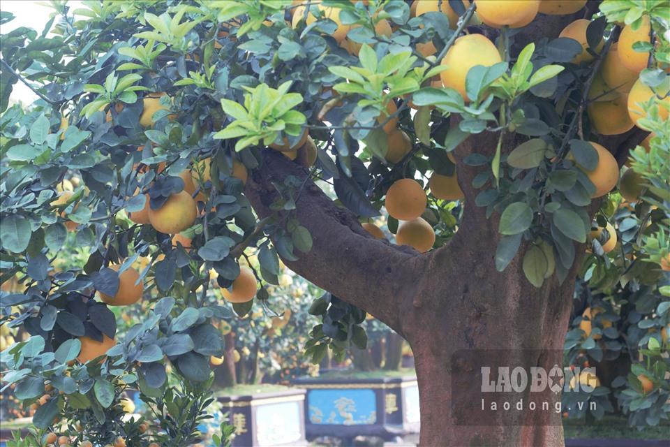 Ngắm cây bưởi cổ được trả giá 300 triệu đồng vẫn không bán tại Hưng Yên-6