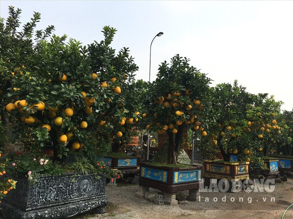 Ngắm cây bưởi cổ được trả giá 300 triệu đồng vẫn không bán tại Hưng Yên-7