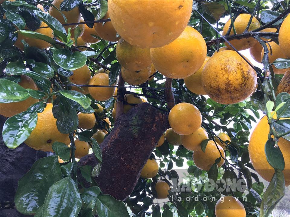 Ngắm cây bưởi cổ được trả giá 300 triệu đồng vẫn không bán tại Hưng Yên-8