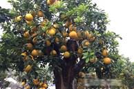 Ngắm cây bưởi cổ được trả giá 300 triệu đồng vẫn không bán tại Hưng Yên