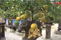 Cận cảnh bonsai 'Trâu cõng bưởi' đón Tết 2021