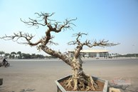 Chậu sung trăm tuổi trụi lá, hét giá 200 triệu ở Hà Nội
