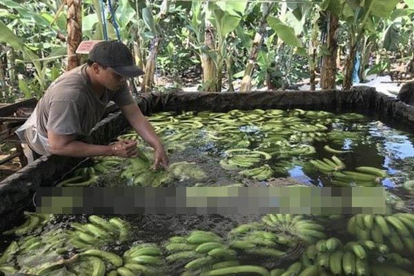 Phát hiện hơn 20 ngàn kg chuối ngâm nước, phun thuốc bảo quản không rõ nguồn gốc