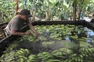 Phát hiện hơn 20 ngàn kg chuối ngâm nước, phun thuốc bảo quản không rõ nguồn gốc trước khi đưa đi tiêu thụ dịp Tết
