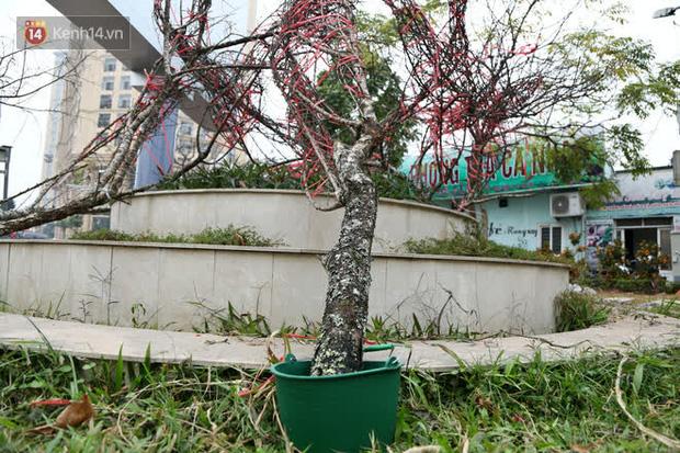 """Hà Nội: Những cành đào rừng Sơn La được dán tem đầu tiên rủng rỉnh"""" xuống phố chờ khách mua về chơi Tết-5"""