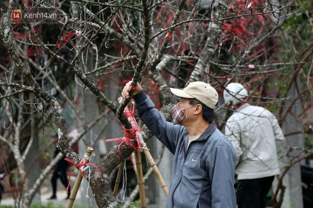 """Hà Nội: Những cành đào rừng Sơn La được dán tem đầu tiên rủng rỉnh"""" xuống phố chờ khách mua về chơi Tết-12"""