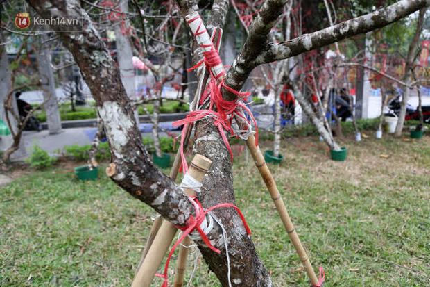 """Hà Nội: Những cành đào rừng Sơn La được dán tem đầu tiên rủng rỉnh"""" xuống phố chờ khách mua về chơi Tết-14"""