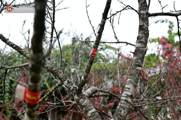 """Hà Nội: Những cành đào rừng Sơn La được dán tem đầu tiên rủng rỉnh"""" xuống phố chờ khách mua về chơi Tết-9"""