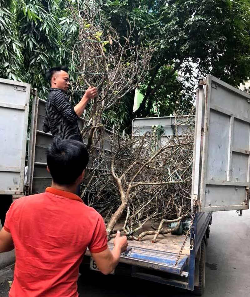 Cành hoa mận cổ về Hà Nội, giá tiền triệu vẫn hút dân mua chơi Tết-1
