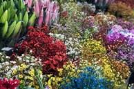 Hoa tươi Trung Quốc lấn át hoa Việt dịp cận Tết