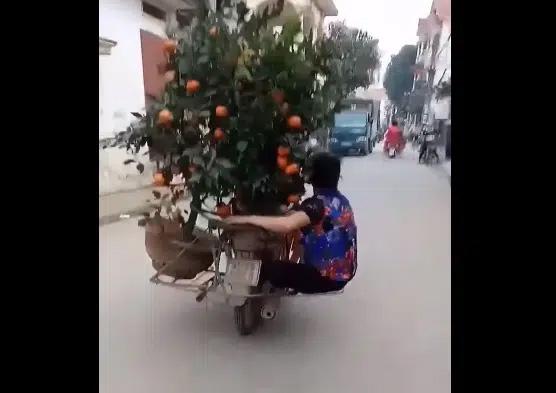 Clip: Người phụ nữ đu bám sau xe máy chở quất Tết để giữ cân bằng khiến cư dân mạng vừa trầm trồ vừa sợ hãi!-2