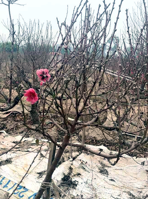 Thương vụ nhớ đời: Buôn 300 cành đào Tết, vợ chồng trẻ lỗ nặng-2