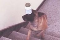Clip: Vẻ mặt căng thẳng đến tội nghiệp của chú chó khi làm xiếc