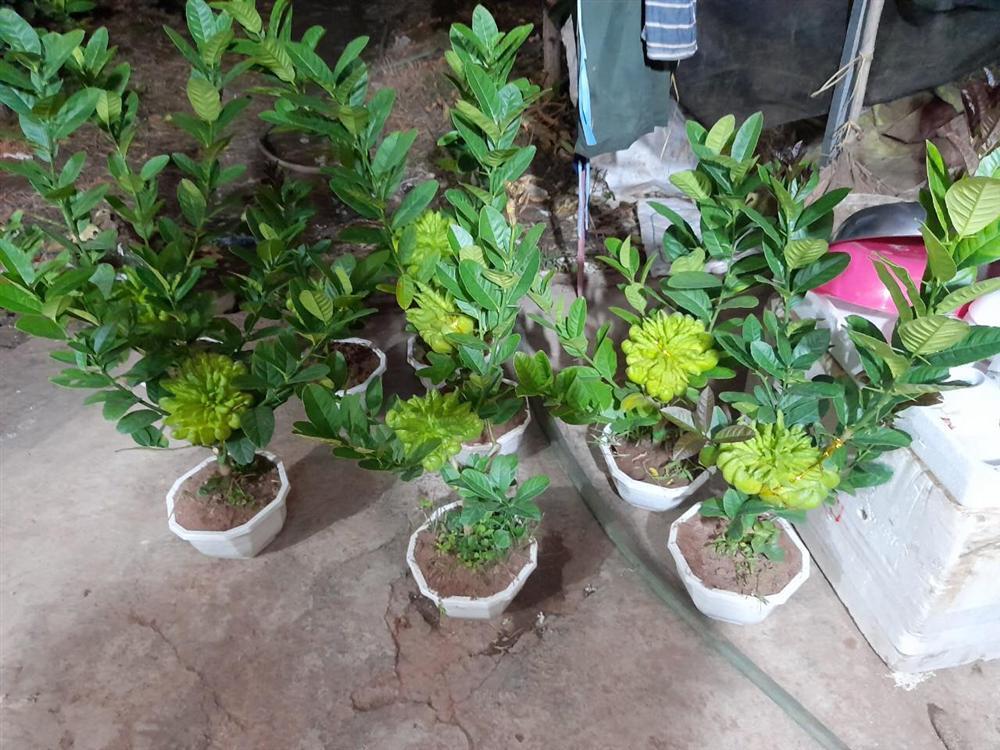 Người phụ nữ tuổi 40 thắng lớn 70 triệu nhờ cận Tết buôn được lô cây phật thủ bonsai giá mềm-1