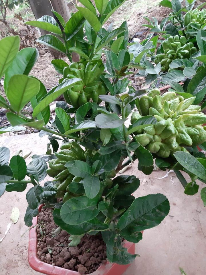 Người phụ nữ tuổi 40 thắng lớn 70 triệu nhờ cận Tết buôn được lô cây phật thủ bonsai giá mềm-4
