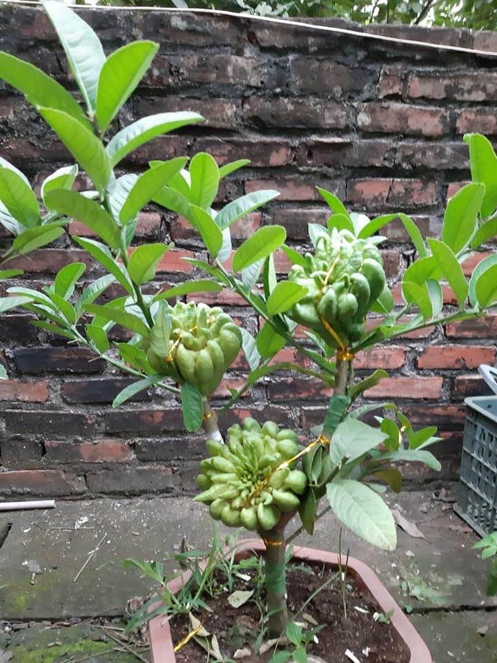 Người phụ nữ tuổi 40 thắng lớn 70 triệu nhờ cận Tết buôn được lô cây phật thủ bonsai giá mềm-5