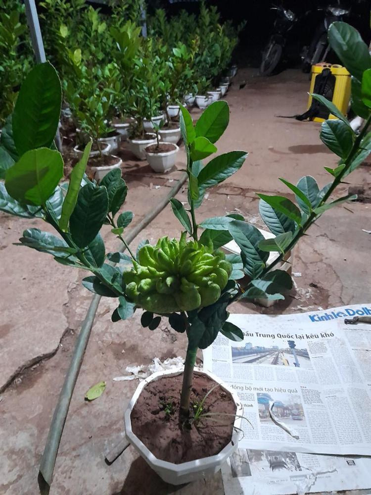 Người phụ nữ tuổi 40 thắng lớn 70 triệu nhờ cận Tết buôn được lô cây phật thủ bonsai giá mềm-8