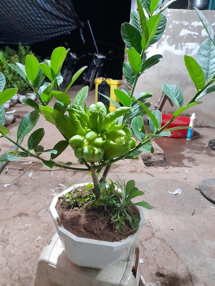Người phụ nữ tuổi 40 thắng lớn 70 triệu nhờ cận Tết buôn được lô cây phật thủ bonsai giá mềm-9