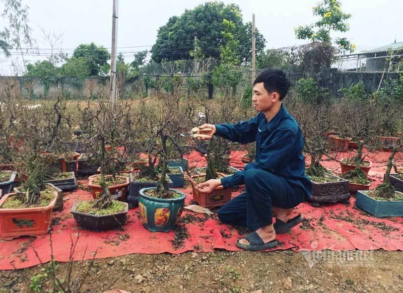 Vườn mai trắng 1.500 cây bung nở, mùa Tết thu ngay 1 tỷ đồng-1