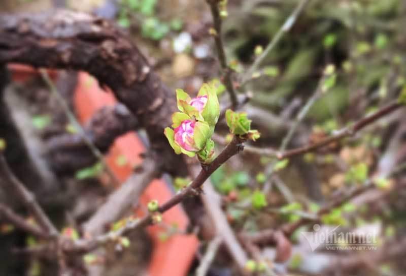 Vườn mai trắng 1.500 cây bung nở, mùa Tết thu ngay 1 tỷ đồng-2