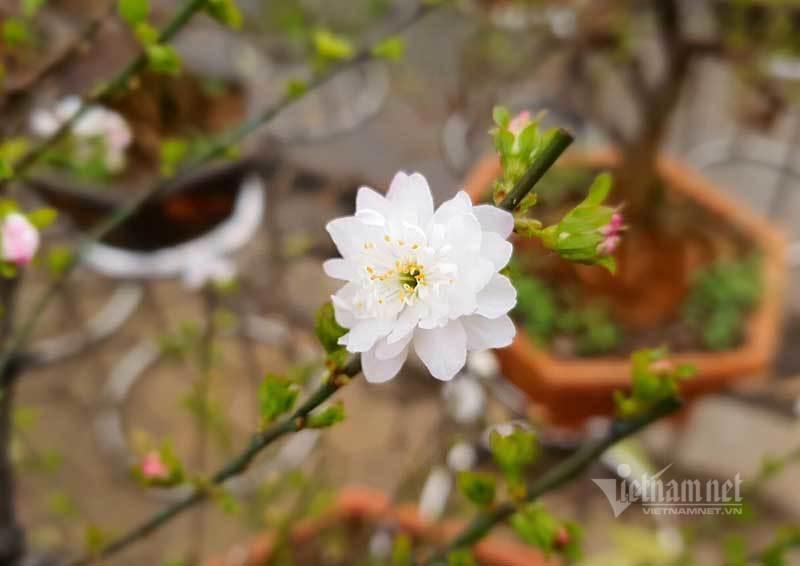 Vườn mai trắng 1.500 cây bung nở, mùa Tết thu ngay 1 tỷ đồng-3