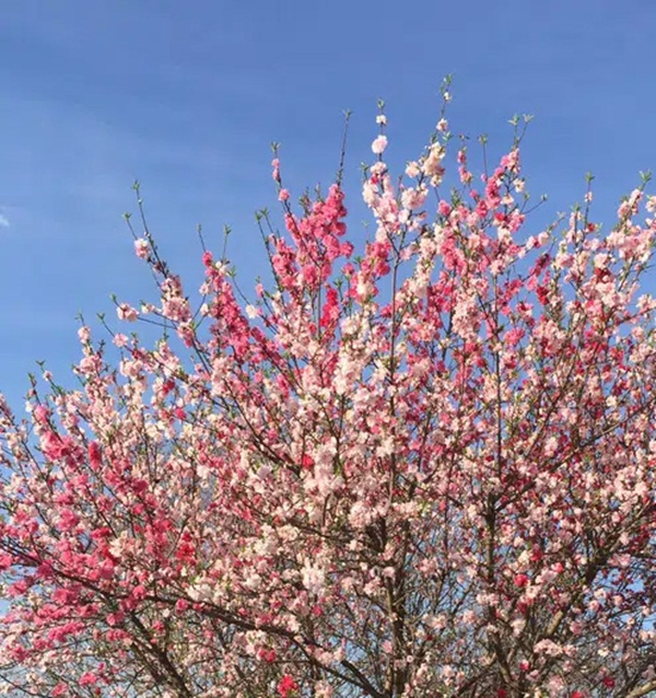 Cây hoa đào mix 3 màu đỏ - hồng - trắng siêu quý hiếm khoe sắc rực rỡ khiến dân mạng xôn xao, trầm trồ-2