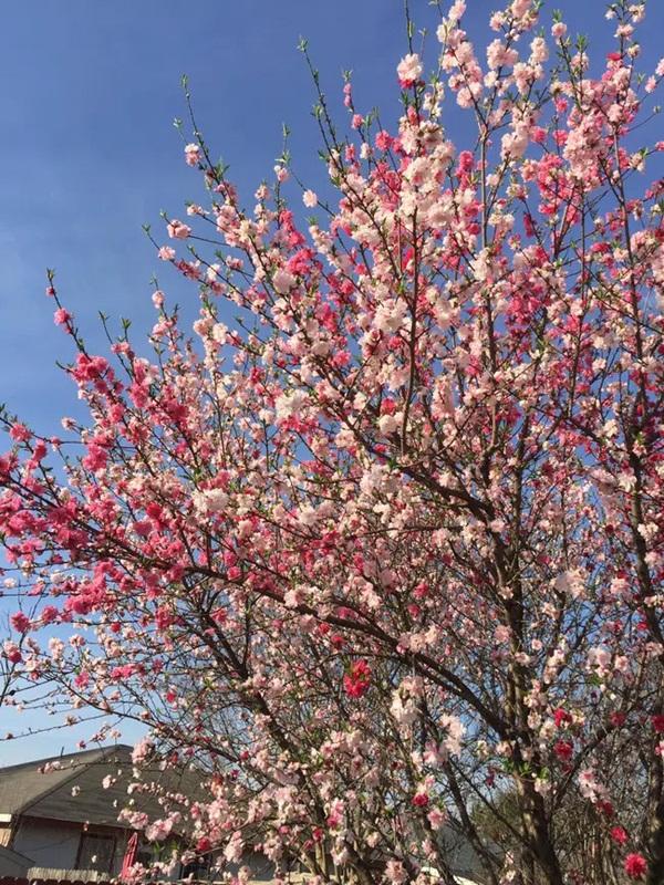 Cây hoa đào mix 3 màu đỏ - hồng - trắng siêu quý hiếm khoe sắc rực rỡ khiến dân mạng xôn xao, trầm trồ-3