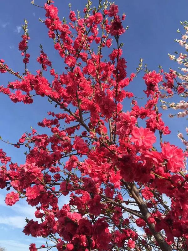 Cây hoa đào mix 3 màu đỏ - hồng - trắng siêu quý hiếm khoe sắc rực rỡ khiến dân mạng xôn xao, trầm trồ-4