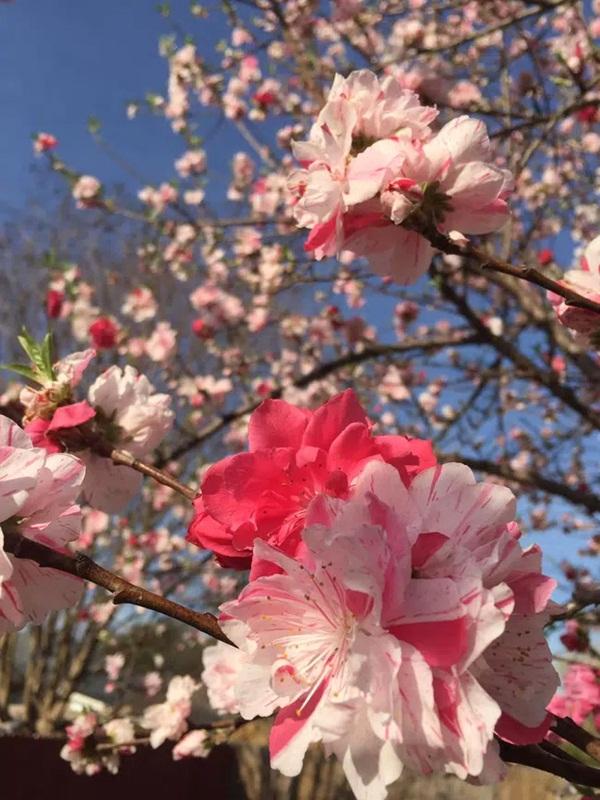 Cây hoa đào mix 3 màu đỏ - hồng - trắng siêu quý hiếm khoe sắc rực rỡ khiến dân mạng xôn xao, trầm trồ-5
