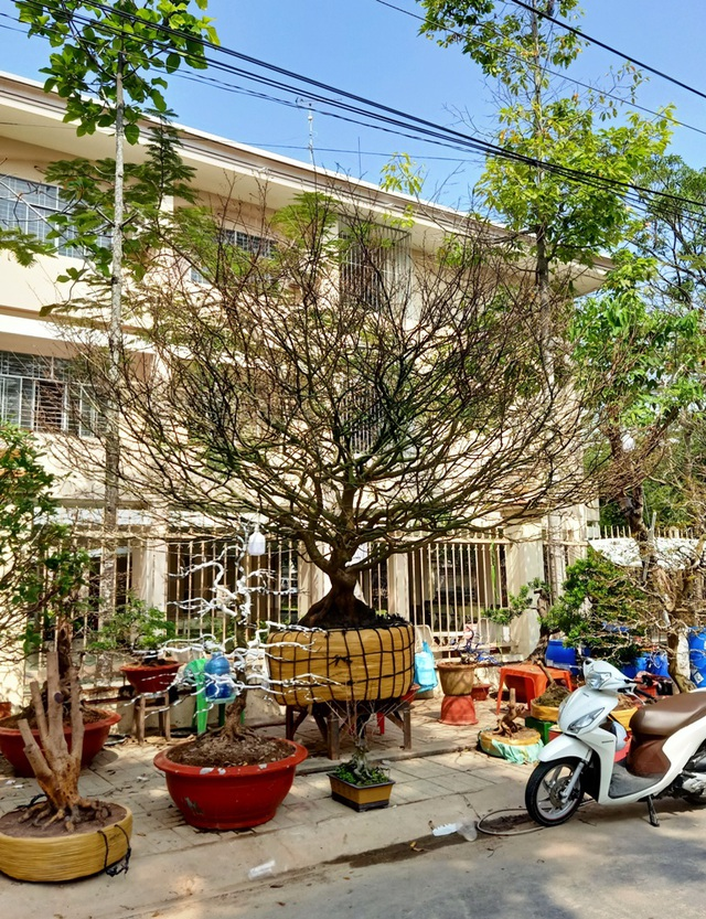 Hoa mắt với cây mai có tán rộng hơn căn nhà 6m, giá 1 tỷ đồng-2
