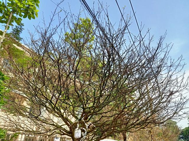 Hoa mắt với cây mai có tán rộng hơn căn nhà 6m, giá 1 tỷ đồng-7