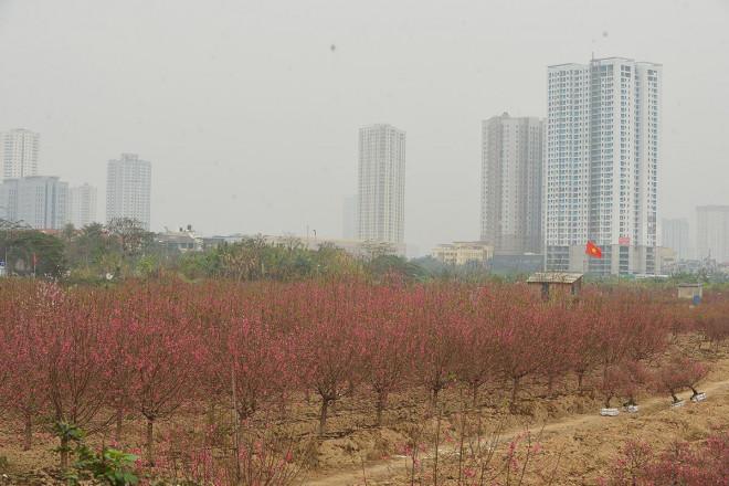 Dân trồng đào lo ngay ngáy vì đã cận Tết mà đào vẫn còn đỏ rực đầy vườn-1