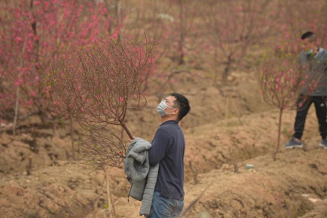 Dân trồng đào lo ngay ngáy vì đã cận Tết mà đào vẫn còn đỏ rực đầy vườn-11