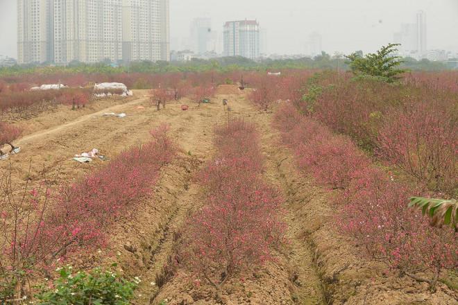 Dân trồng đào lo ngay ngáy vì đã cận Tết mà đào vẫn còn đỏ rực đầy vườn-2