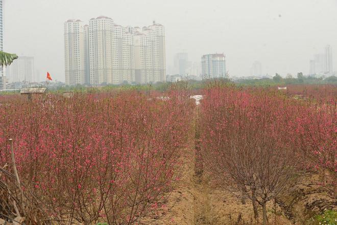 Dân trồng đào lo ngay ngáy vì đã cận Tết mà đào vẫn còn đỏ rực đầy vườn-3