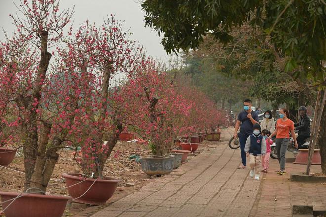 Dân trồng đào lo ngay ngáy vì đã cận Tết mà đào vẫn còn đỏ rực đầy vườn-4